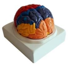 Brain functionele cortex regionale menselijke anatomie hersenen kleur model voor medische school onderwijs tools
